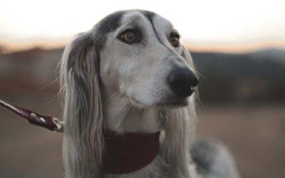 Obroża czy szelki dla psa?