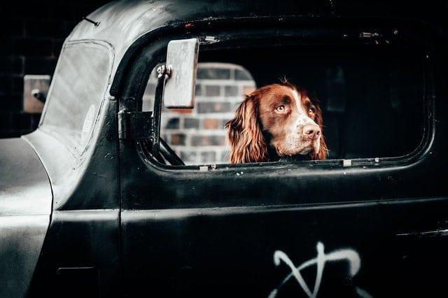 Uwaga upał! Zwierzęta w samochodzie