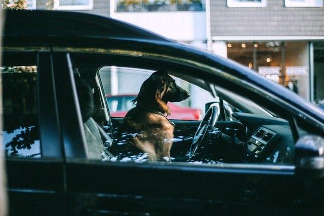 zamknięty pies w aucie